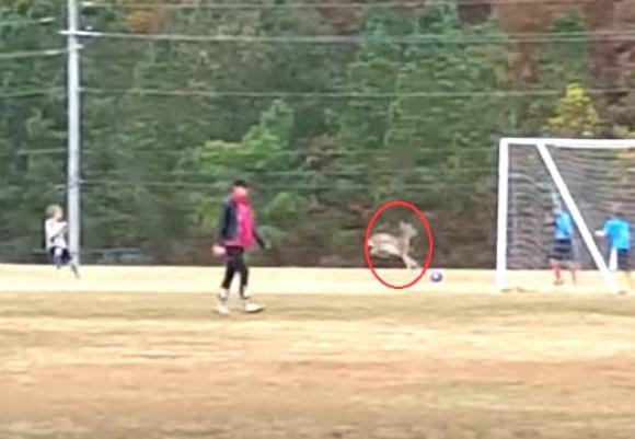 Сърна нахлу на футболен мач в САЩ, вкара гол (ВИДЕО)