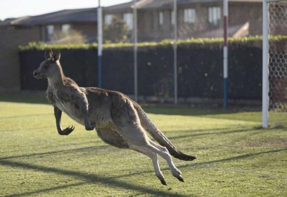 Кенгуру прекъсна мач в Австралия (видео)