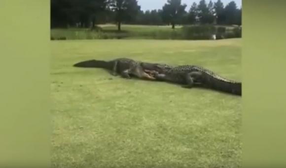 Шокираща гледка! Алигатори се захапаха здраво на голф игрище (видео)